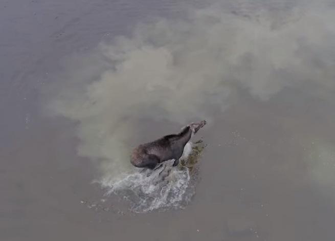 Дрон снял яростную схватку в воде между волком и лосем