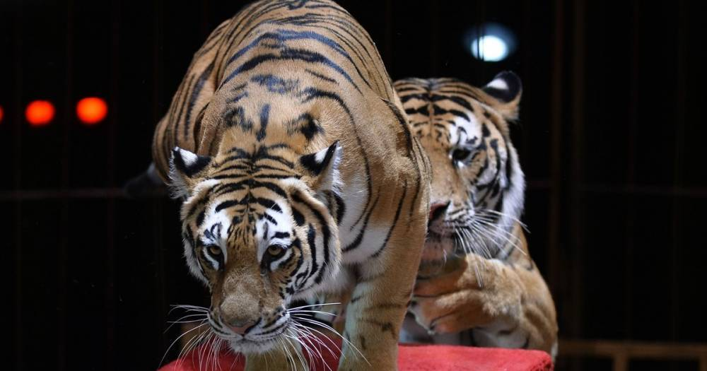 В Италии хотят запретить цирк с животными