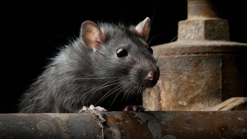 Крысы терроризируют семью в графстве Мерсисайд