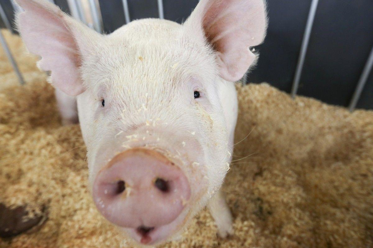 На Херсонщине зафиксировали новую вспышку чумы свиней