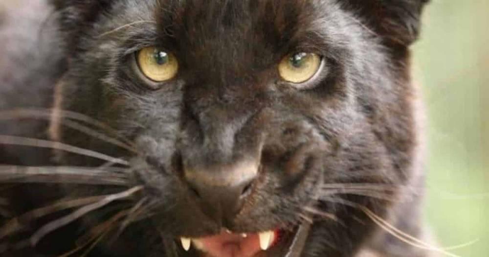 Черная пантера гуляет по полям Шотландии. Полиция просит проявлять осторожность