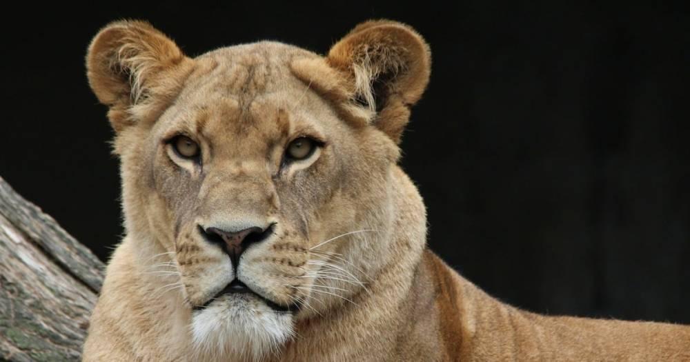 В зоопарке США львица загрызла льва — отца своих детенышей
