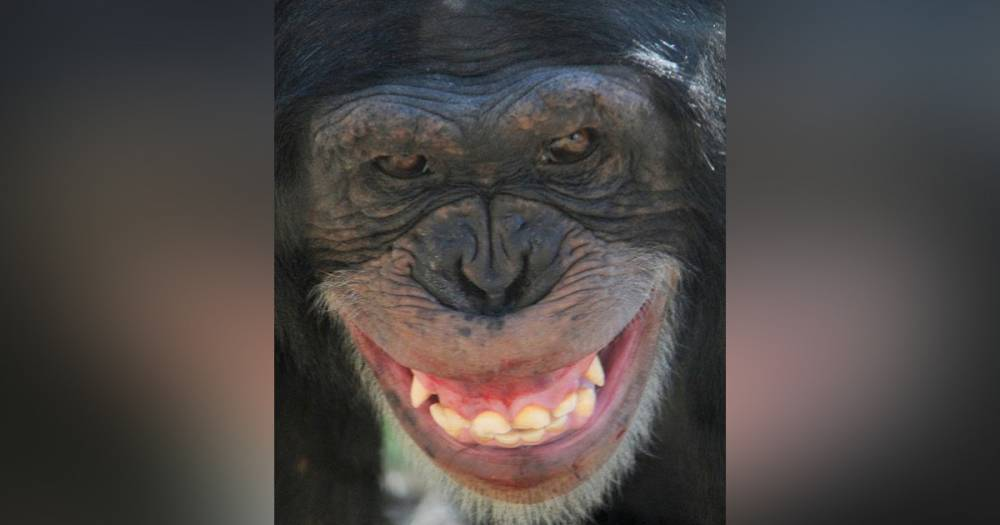 Из-за разбившей стекло шимпанзе в Техасе эвакуировали часть зоопарка