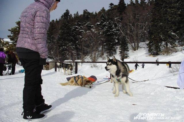 Минтранс Дании признал собачьи упряжки официальным видом транспорта