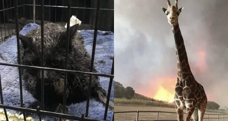 Пожар в Калифорнии убил и покалечил тысячи животных (фото)