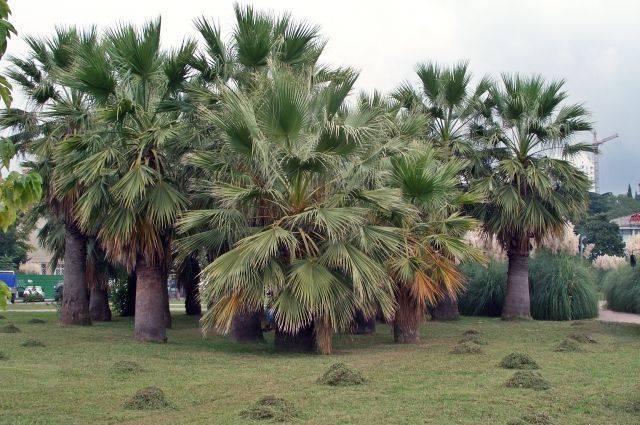 В Сочи из-за вредителя массово вырубают пальмы
