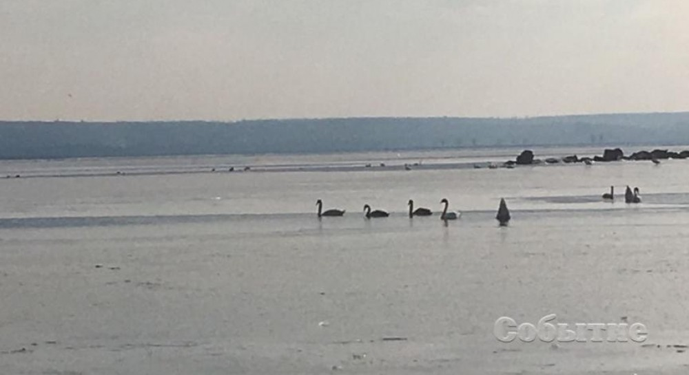 На Днепропетровщине лебеди оказались в ловушке на водохранилище