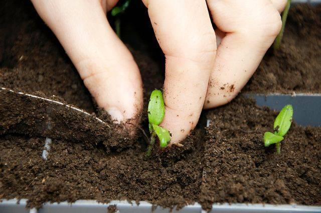 Пикировка ипересадка. Выращиваем рассаду помидоров, перцев и баклажанов