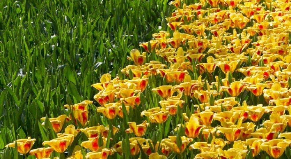 Почти Голландия: на Херсонщине зацвели триста тысяч тюльпанов