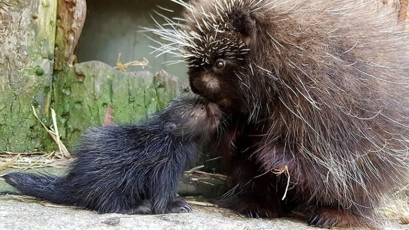 В берлинском зоопарке родилось колючее чудо