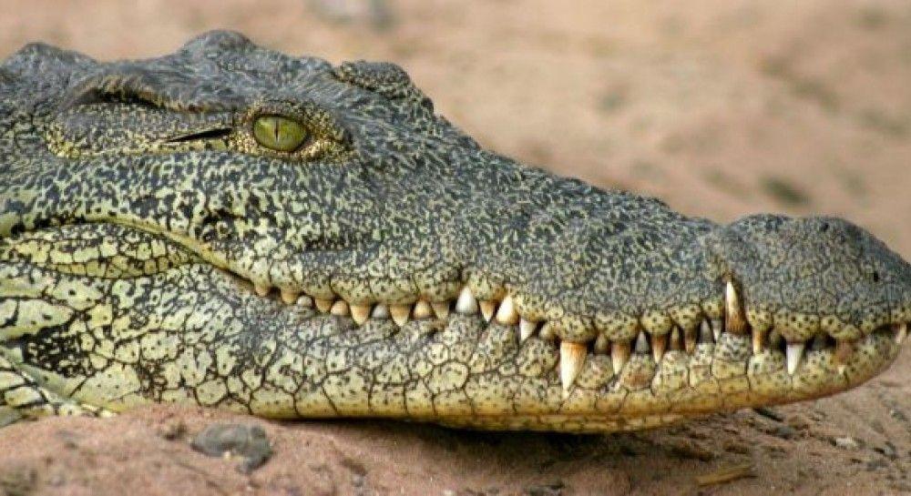 Мужчина героически спас сына в битве с четырехметровым крокодилом