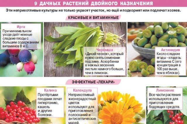 9дачных растений двойного назначения. Инфографика