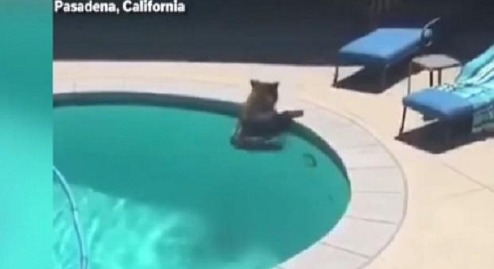 Косолапый освежился: медведь плюхнулся в бассейн, чтобы спастись от жары