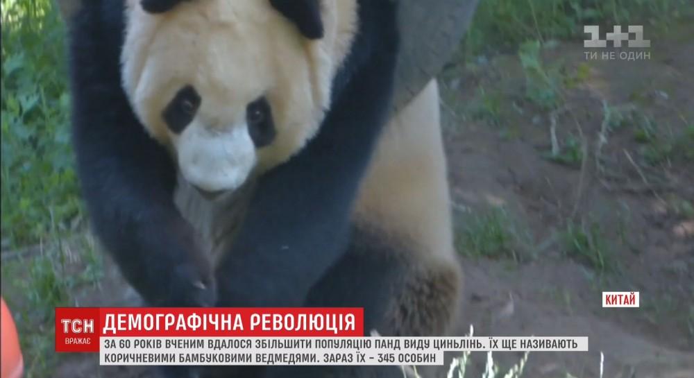 Китайским ученым удалось увеличить популяцию редких панд
