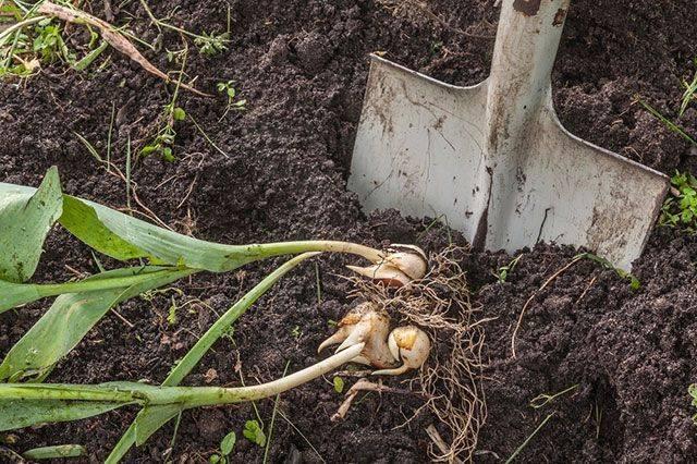 Зачем выкапывают тюльпаны и когда это надо делать?