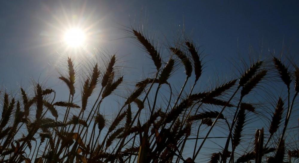 Минсельхоз США снова повысил прогноз урожая зерна в Украине