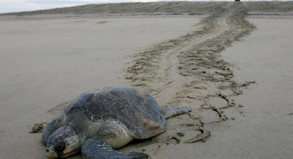 В Мексике расследуют причину гибели более сотни редких морских черепах