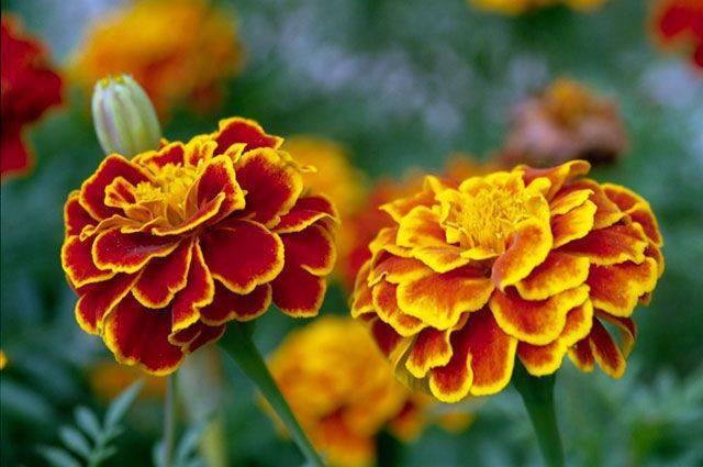 Собираем семена цветов. Как сэкономить на посадочном материале?