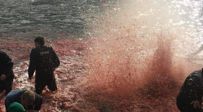 Рыболовы из Фарерских островов по обычаю зарезали сотни дельфинов (фото, видео 18+): фото и иллюстрации