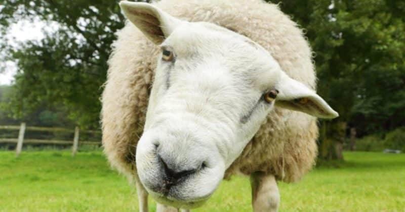 Бандитам удалось украсть 500 беременных овец с фермы стоимостью £60 тыс.