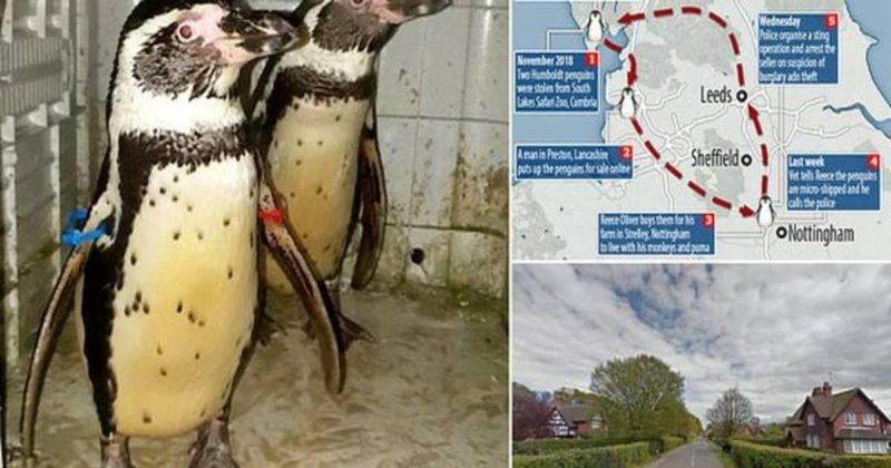 Пингвинов, украденных из зоопарка и проданных в интернете, вернули домой
