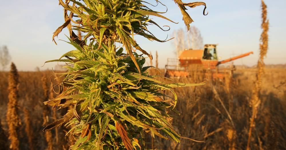 Выращивание и переработка конопли в россии марихуану легализовали в украине