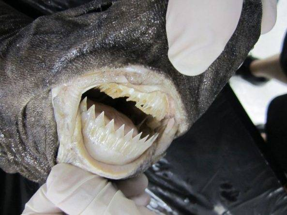 На Гавайях бразильская светящаяся акула напала на пловца во время длительного заплыва, нанеся ему тяжелое ранение