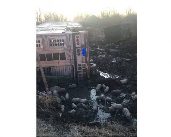 В штате Иллинойс грузовик с 3 тыс. поросят попал в ДТП, после чего животные оказались на свободе
