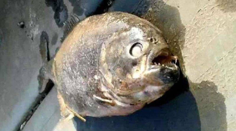 В озере Йоркшира рыбаки нашли смертоносных плотоядных пираний