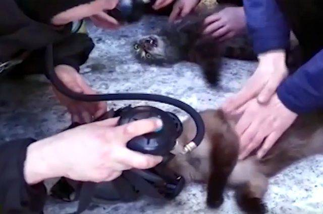 Как наградили пожарных, сделавших искусственное дыхание кошкам?