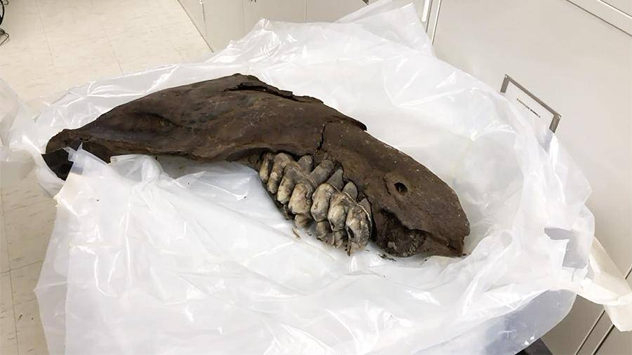 В Айове подросток нашел челюсть мастодонта возрастом 34 тыс. лет: фото и иллюстрации