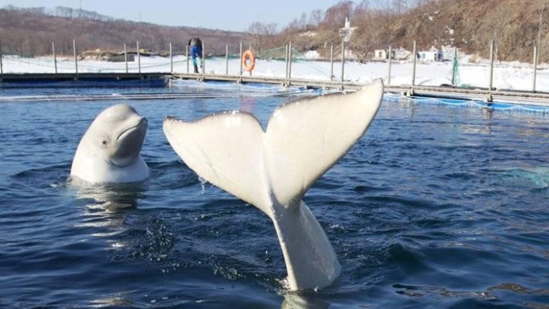 Компания-отловщик не хочет выпускать животных из «китовой тюрьмы»