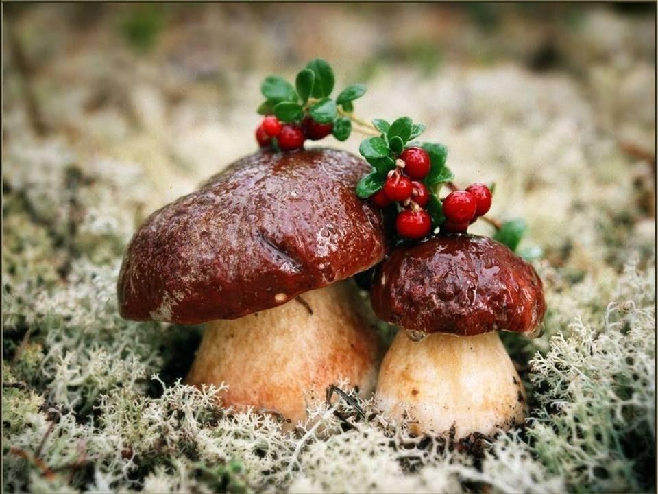 Песочники грибы фото и описание так