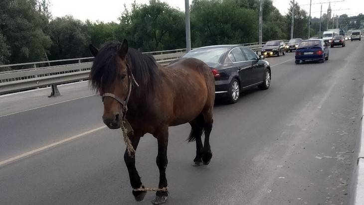 В Брянске из-за стреноженной лошади на мосту создалась пробка: фото и иллюстрации