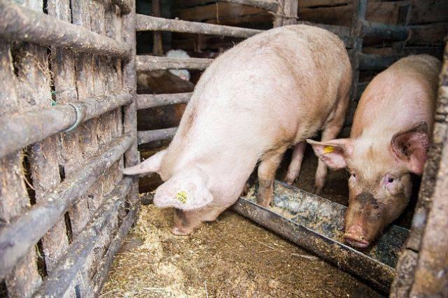 Под Рязанью порядка 2,5 тысяч свиней погибли на предприятии: фото и иллюстрации