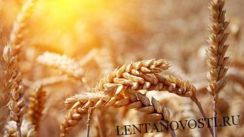 В Канаде площадь пшеницы значительно сократилась из-за засухи: фото и иллюстрации