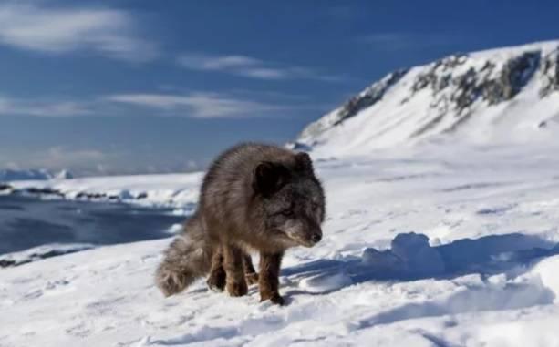 Песец в рекордные сроки добрался из Норвегии в Канаду. РЕН ТВ: фото и иллюстрации