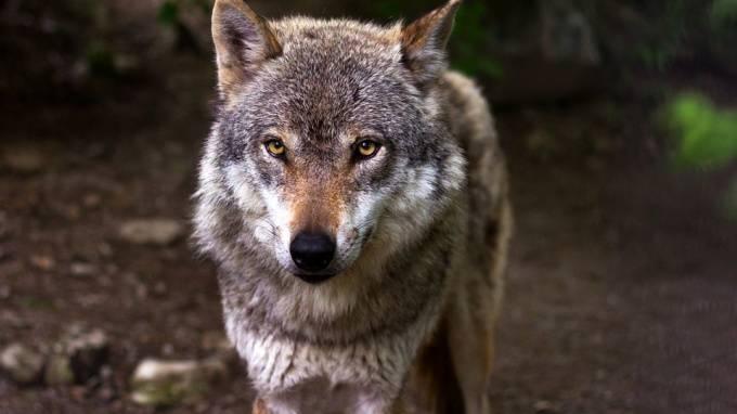 В Канаде волк напал на спящую в палатке семью: фото и иллюстрации