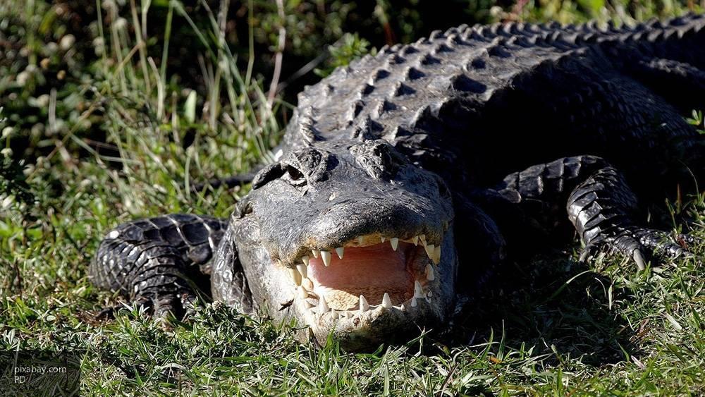 Анаконда переломала кости аллигатору на глазах у туриста из США: фото и иллюстрации