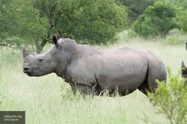 Исследователи создали эмбрион северного белого носорога: фото и иллюстрации