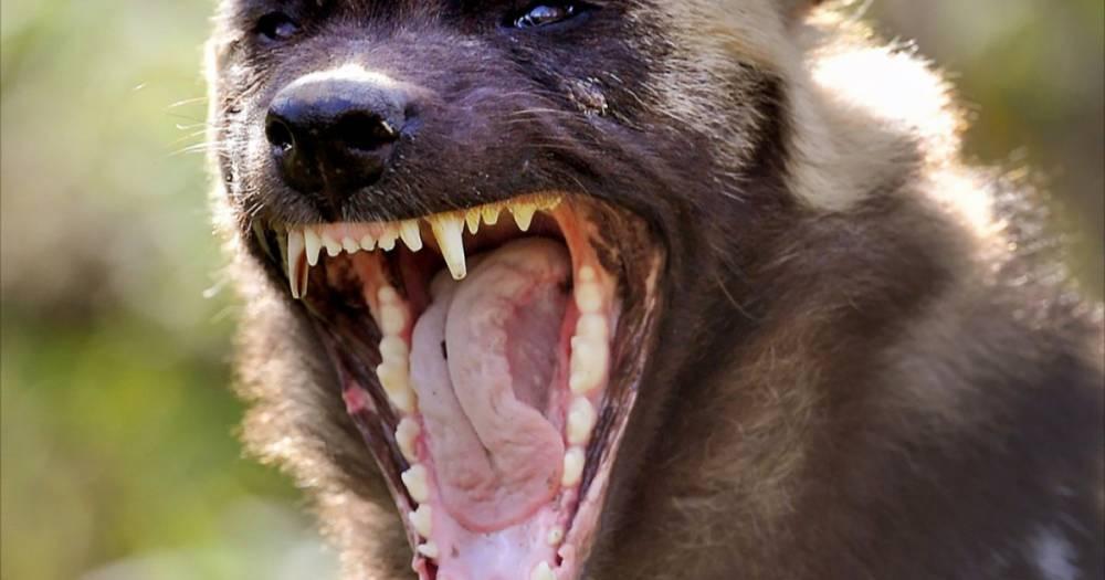 В Башкирии чудовище-кровосос растерзало домашних животных: фото и иллюстрации