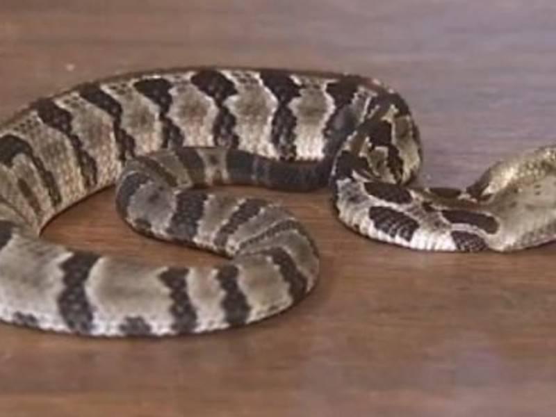 В Нью-Джерси найдена редкая двуглавая гремучая змея: фото и иллюстрации