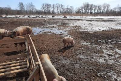 В Хабаровском крае фермеру грозит штраф за выгул свиней