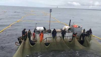 На Камчатке отчитались о рекордном за два десятка лет улове лососевых рыб