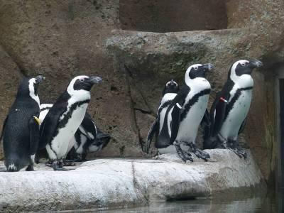 Рой пчел убил редких пингвинов в Африке